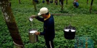 Foto pekerja hari Perkebuna karet Kabupaten Bulukumba. (BERITA.NEWS/IL).